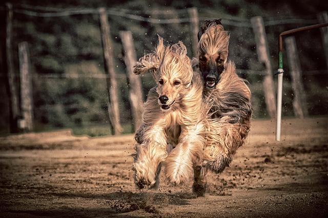 En kväll på hundkapplöpning